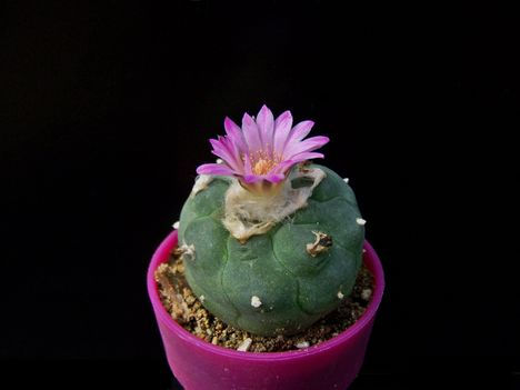 Lophophora jourdaniana
