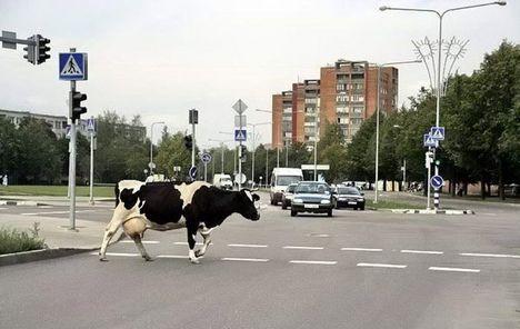 az egy tehén az úttesten