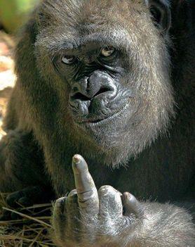 Gorilla aki nem ért egyet