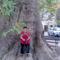 Trsteno 500 éves platánfa