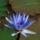 Lótuszvirágok