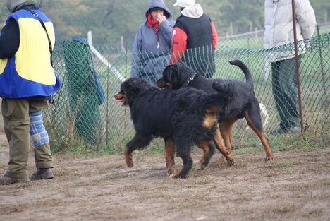 Berner Sennenhund, rottweiler