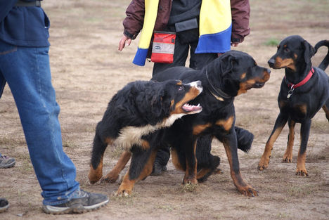 Berner Sennenhund, rottweiler, dobermann