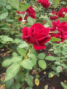 botananikus rózsakert
