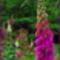 gyűszűvirágok