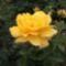sárga rózsa