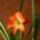 Amarillis-001_1061694_3700_t