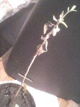 Ezüstfa