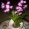 Illatos orhidea Dendrobium Kingianum