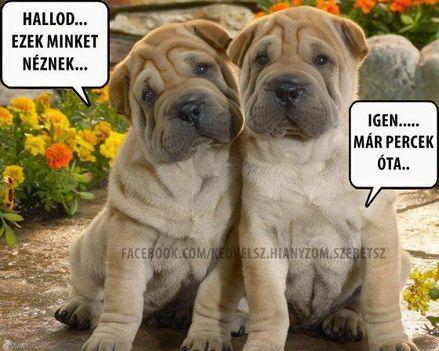Shar-Pei kutyusok.
