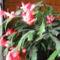A  kaktuszaim november óta virágzanak