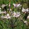 NAGY MOROTVA  - Virágkáka - Butomus umbellatus