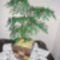 gyöngy fám 8