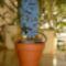 Tavaszváró kék jácint virág