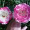 rózsa 12