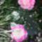 rózsa 17