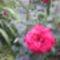 rózsa 19