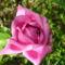 rózsa 23