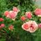 rózsa 28