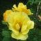 rózsa 31