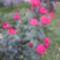 rózsa 33