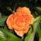 rózsa 35