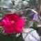 rózsa 36