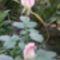 rózsa 3