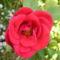 rózsa 9