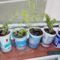 Stevia ,saját ültetésű az ablakban várja a tavaszt.