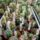 Dósa Béla: csere -eladó kaktuszok