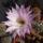 Echinopsis