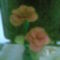 harisnya virágom