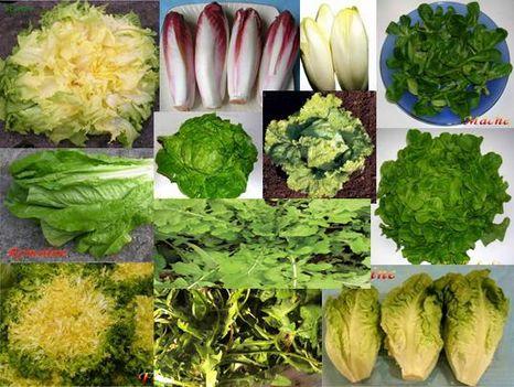 saláta, mint saláta