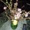 Mandulavirág hímestojással