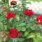 csak egyszerüen rózsa