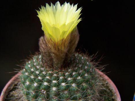 Notocactus caespitosus