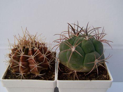 Gymnocal.matoense és G.marquezii v.argentensis