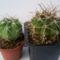 Gymnocal.tobusianum és G.joossensianum