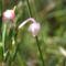 tőzegrozmaring Hargita megye természetvédelmi területei