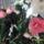 Kamelia-001_1655333_6171_t