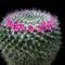Mammillaria hahniana v giselana