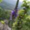 Macskafarkú veronika (Veronica spicata) Ágasvár csúcs