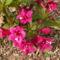Rózsalonc - Weigela florida 'Bristol Ruby'