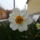Narcisz_1662571_3896_t
