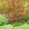 Virág  nélkül  is  szinesen-gyöngyvessző
