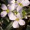 Ikravirág