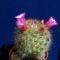 Mammillaria kladivae