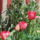 Tulipant_1664926_7942_t