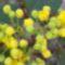 Virágzik aJ.Andrástól kapott kis mahóia